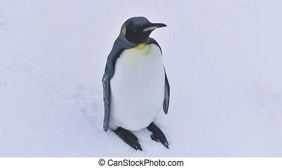 Antarctic king penguin wildlife bird close-up