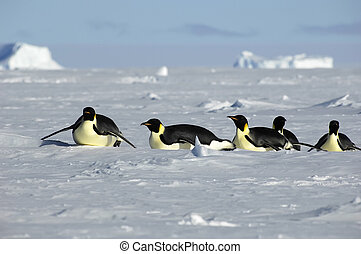 Antarctic penguin procession - Penguin procession in...