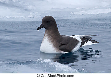 Antarctic petrel that floats in the polynya between ice floes