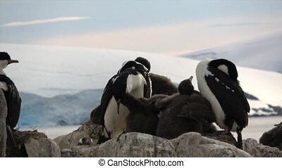 Antarctic Shag close up on the nest in Antarctica