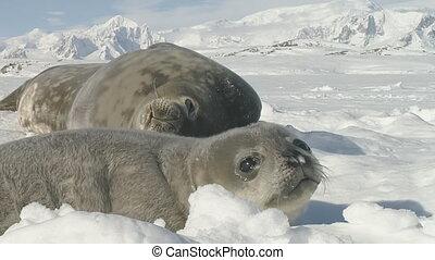 Antarctic weddell seal family rest polar land - Antarctic...