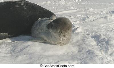 Antarctic weddell seal puppy play snow closeup - Antarctic...