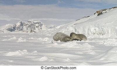 Antarctic weddell seal puppy suck milk closeup - Antarctic...