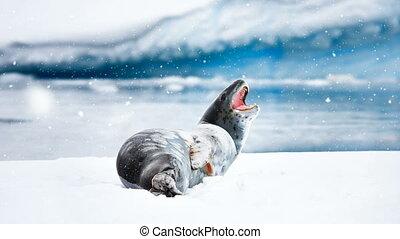Antarctic Wildlife: gray seal lies on an ice floe -...