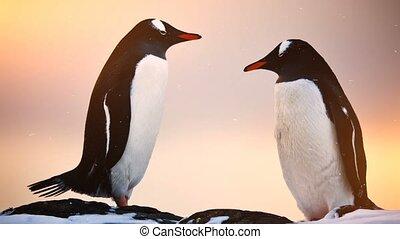 Antarctic Wildlife: two black and white penguins resting -...