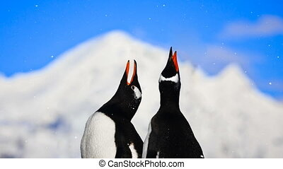 Antarctic Wildlife: two penguins singing - Antarctic...
