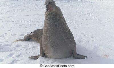 Antarctica adult elephant seal growl close-up - Antarctica...