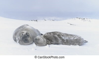 Antarctica baby adult weddell seal muzzle close