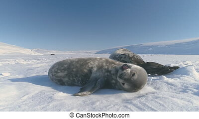Antarctica baby weddell seal yawn in sun light