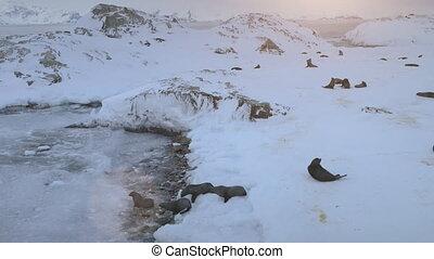 Antarctica fur seal colony swim nature aerial view -...