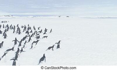 Antarctica penguins moving to Vernadsky station. -...