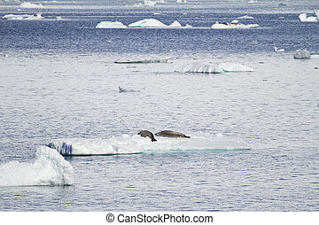 Antarctica Seals In Natural Habitat