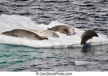 Antarctica - Seals On An Ice Floe
