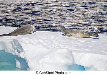 Antarctica - Seals On An Ice Floe