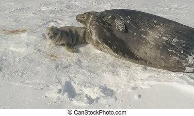 Antarctica snow weddell seal parent play baby - Antarctica...
