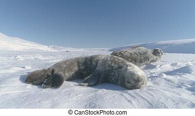 Antarctica weddell seal polar wildlife animal