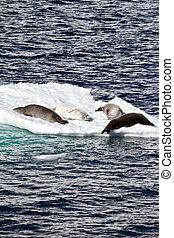 antarctique, -, banquise, glace, cachets