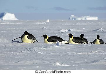 antarctisch, processie, penguin