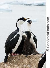 antarktisk, blåögda, kormoran