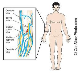 antecubital, fosse, veines