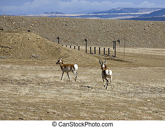 Antelope down range