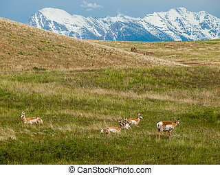Antelope in a Field at the National Bison Range in Montana USA with Snowcapped Mountains