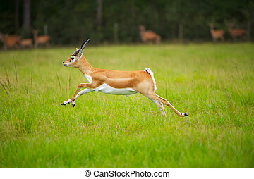 Antelope Jumping - Female African Antelope mid Stride in...