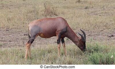 Antelope kongoni eating grass. - Antelope kongoni close...