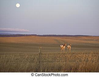 antelope moonrise