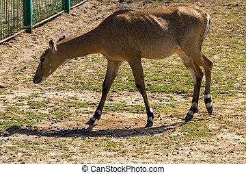 Nilgai or Blue Bull (Boselaphus Tragocamelus)