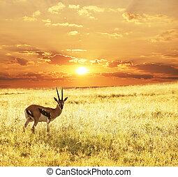 Antelope on sunset