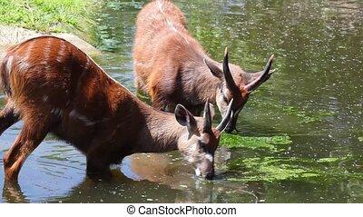 Antelope Sitatunga eat water algae