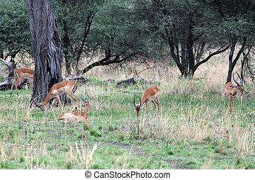Antelope - Tarangire National Park. Tanzania, Africa