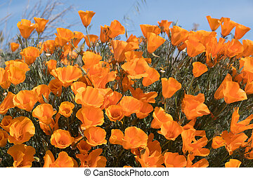 Antelope Valley Poppy Reserve in California, photo taken in spring time.