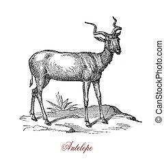 Antelope, vintage engraving  XIX century