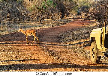 Antelope walking through the bushes in morning light