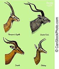 antelopes greater kudu, gazelle thompsons, dibatag and...