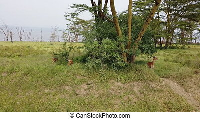 antelopes in the African savannah