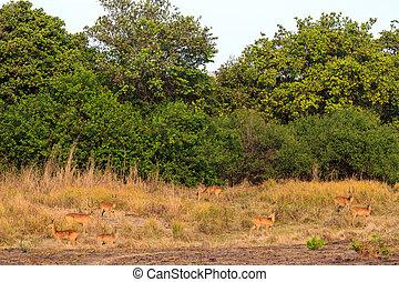 Antelopes walking through the bushes in morning light