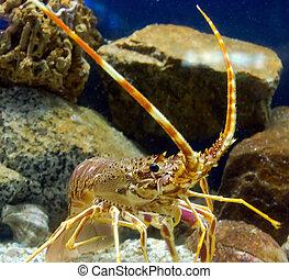 antenna lobster