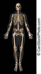 anterior, anatomía,  tendón, Esqueleto, vista
