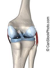 Anterior and posterior cruciate ligament anatomy