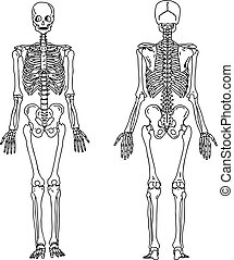 anterior, empate, esqueleto, system., huesudo, ilustración, mano, anatomía, trasero, vector, humano, vista, doodles