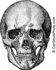 anterior, huesudo, cráneo, esqueleto, diccionario, labarthe, vendimia, -, cara, 1885., parte, medicina, illustration., paul, grabado, usual