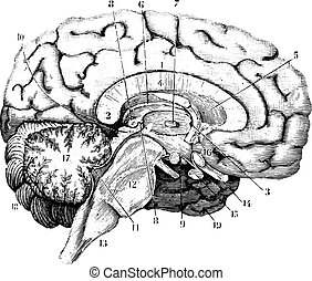 anterior-posterior, illustration., 辞書, 1885., 型, セクション, -, 中央, labarthe, 刻まれる, 脳, 薬, dr, 普通