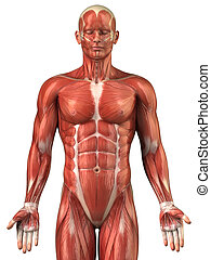 anterior, sistema, muscular, anatomia, homem, vista