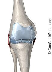 anterior, visível, human, cartilagem, joelho, vista