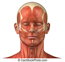 anteriore, sistema, muscolare, anatomia, facciale, vista ...