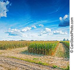 antes de, milho, vista, colher, campo