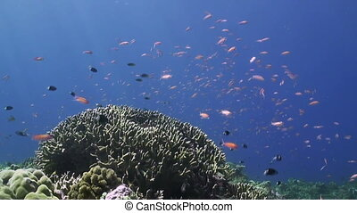 Anthias and Damselfishes on a coral reef